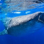 Walhai so groß – Isla Mujeres – Golf von Mexiko
