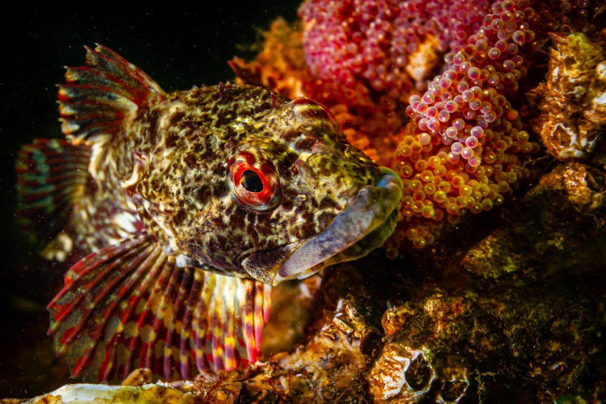 Skorpionfische mit Eier im Portrait