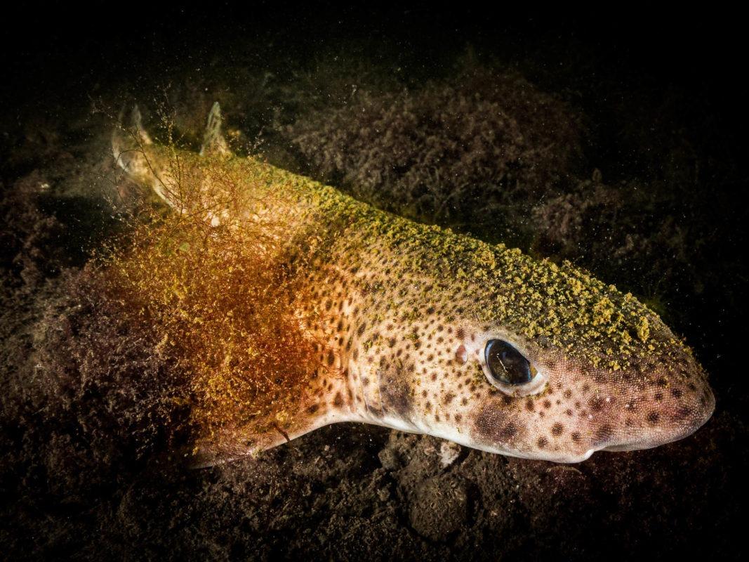 Katzenhai in der Oosterschelde-Nordsee